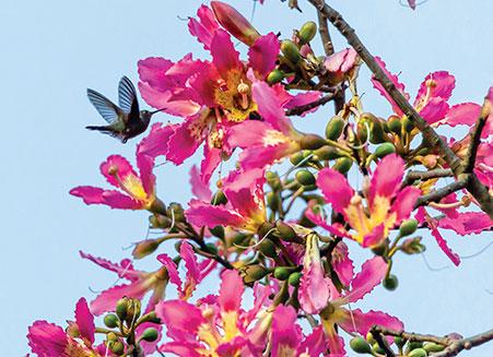 Hummingbird on pink flowers